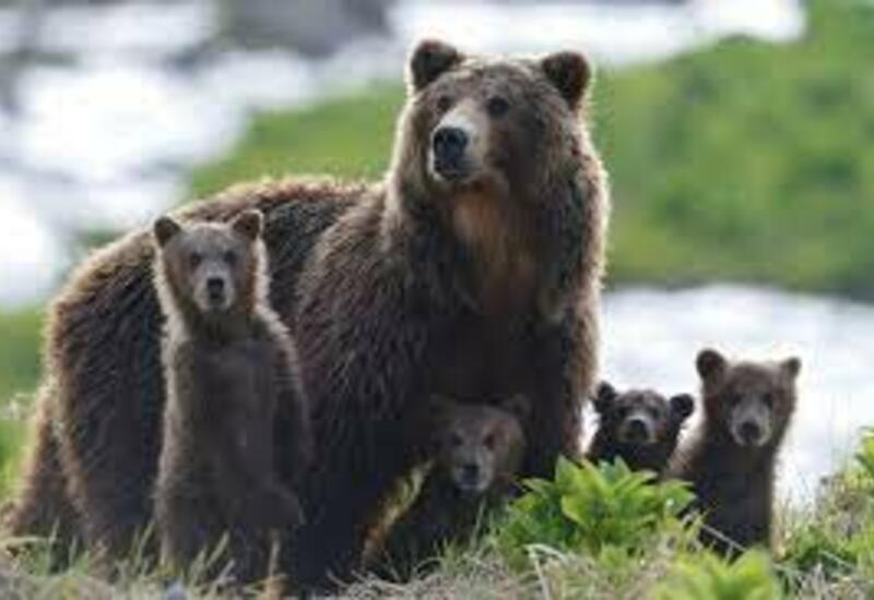 Семейство гуляющих возле завода в России медведей сняли на камеру