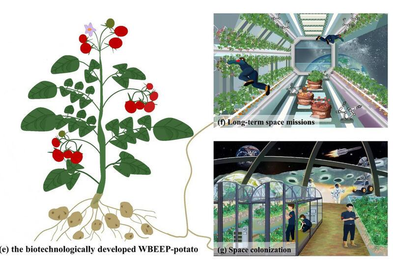 Китайцы предложили выращивать в космосе ГМО-картошку