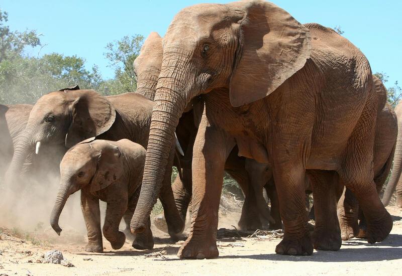 Африканские слоны стали рождаться без бивней