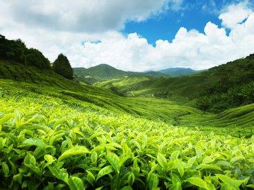 Азербайджан возрождает чайную историю - АНАЛИТИКА