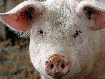 Африканская чума убивает свиней в Эстонии
