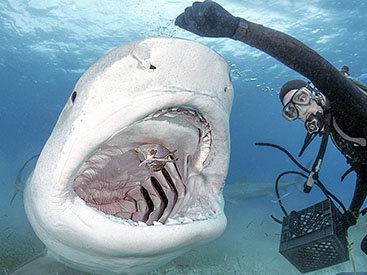 Бесстрашный пловец покормил акулу с руки - ФОТО