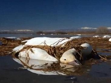 На головы американцев обрушились две тысячи мертвых гусей