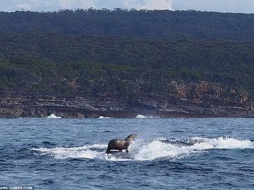 Такого вы еще не видели: тюлень катается на ките! - ФОТОСЕССИЯ