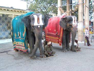 Индийские слоны объявлены национальным достоянием