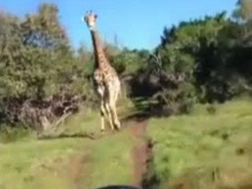 И смех, и грех: в ЮАР жираф напал на туристов – ФОТО - ВИДЕО