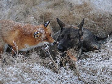 Удивительный случай: лиса подружилась с охотничьим псом - ФОТОСЕССИЯ