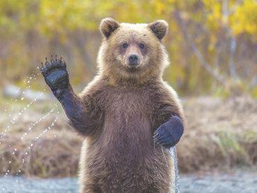 Медвежата устроили переполох в Габале