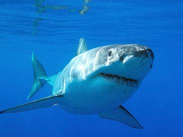 Ученые обнаружили схожие черты между человеком и акулами
