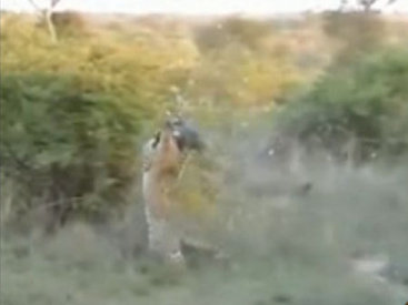 Фантастический прыжок: леопард поймал птицу в воздухе - ВИДЕО