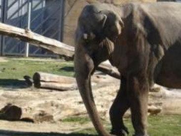 Американцам не позволили убивать африканского слона