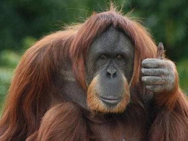 Орангутанг в Аргентине получил права человека