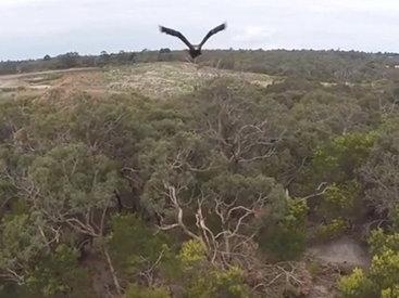 Разъяренный орел сбил беспилотник ВВС Австралии - ВИДЕО