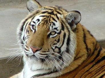 В Индии поймали тигра-людоеда