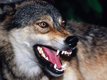 В Джалилабаде четверо детей едва не погибли в пасти волка - ОБНОВЛЕНО - ФОТО