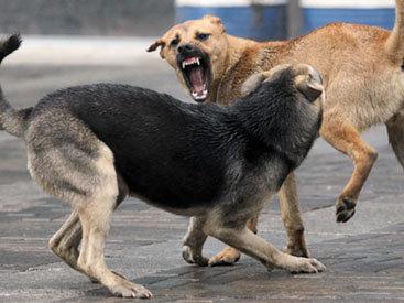 В Ереване насчитали больше бродячих собак, чем в Москве