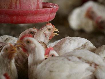 В Японии обнаружен птичий грипп