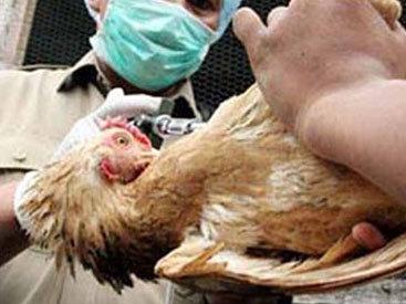 Эпидемия птичьего гриппа в Мексике продолжает разрастаться