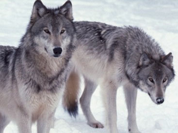 Волки держат в страхе села Губинского района