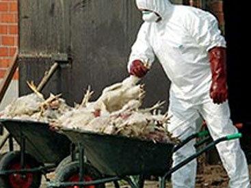Птичий грипп в Гонконге: на карантине 20 человек