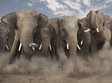 В США цирковые слоны разбили автомобили