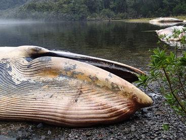 Массовое самоубийство китов в Чили - ФОТО