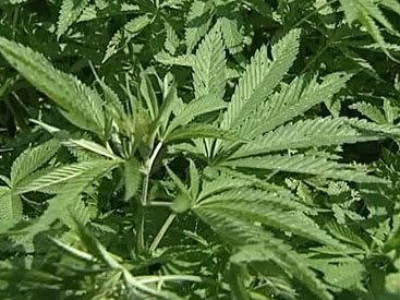 В Глендейле армянин выращивал в гараже марихуану