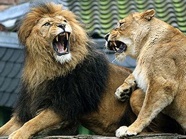 Лев напал на сотрудницу зоопарка в Германии