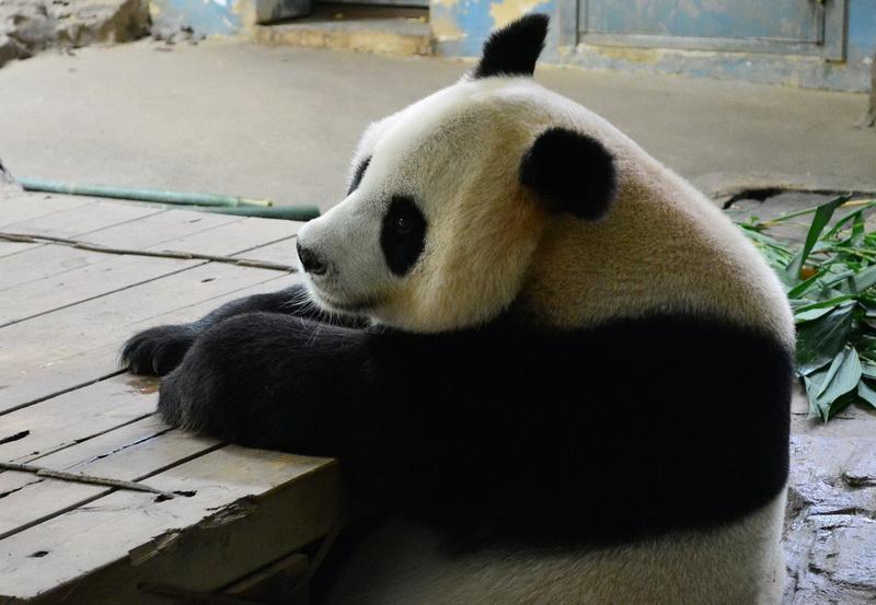 """""""Новое чудо света"""" в Китае: у панды родились тройняшки - ФОТО"""