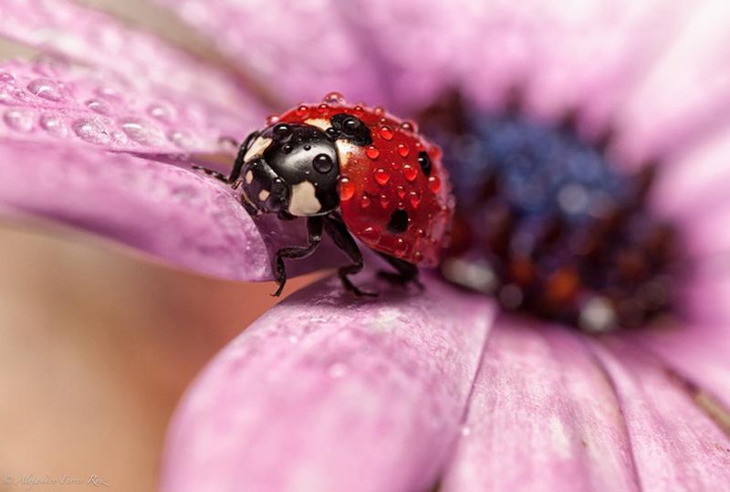 природа насекомое макро божья коровка цветы роса скачать