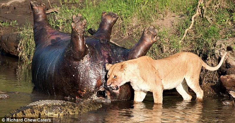 Крокодил и лев сражаются за тело мертвого гиппопотама - ФОТО