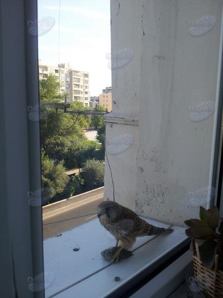 Хищник приземлился с добычей на подоконник в Баку - МОБИЛЬНЫЙ РЕПОРТЕР - ФОТО