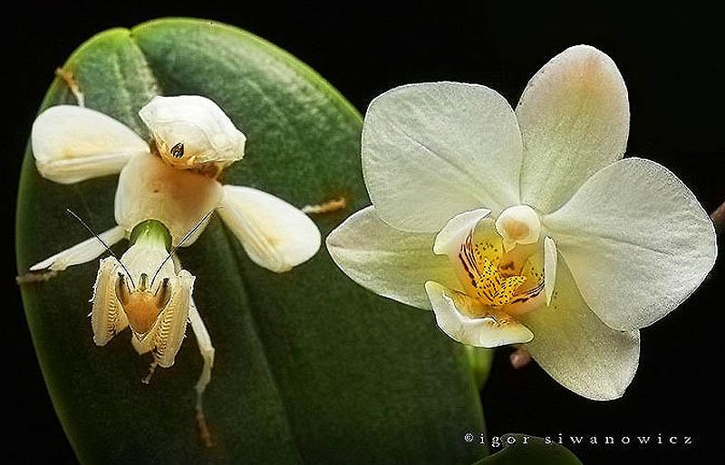 Орхидейные красавцы-богомолы - ФОТОСЕССИЯ