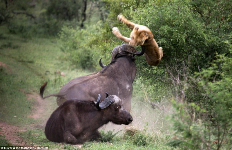 Редкие кадры из мира природы: буйвол поднял льва на рога - ОБНОВЛЕНО - ВИДЕО - ФОТО