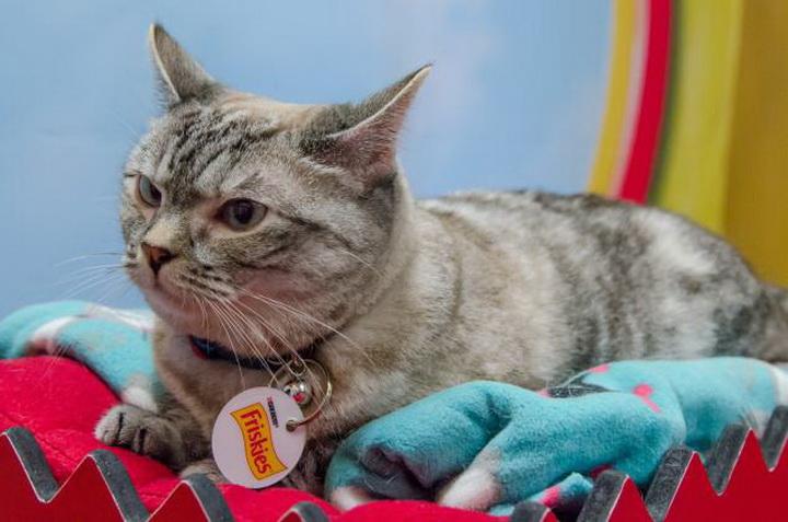 """Самые популярные кошки Интернета проведут благотворительный """"бой"""" - ФОТО"""