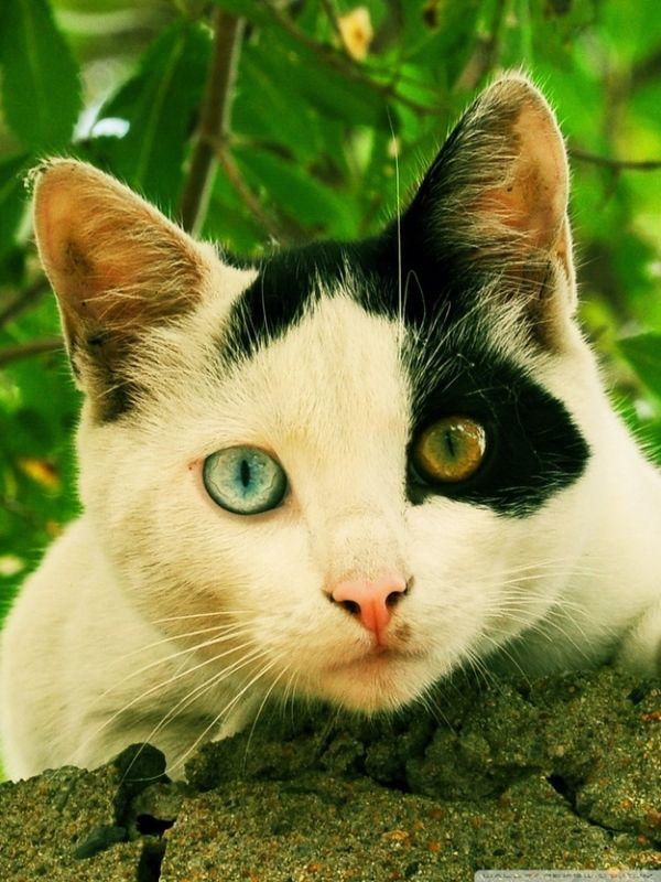 содержит фото разноглазой кошки кулинары показывают, как