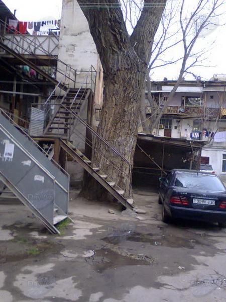 Дерево-гигант в бакинском дворе - МОБИЛЬНЫЙ РЕПОРТЕР – ФОТО