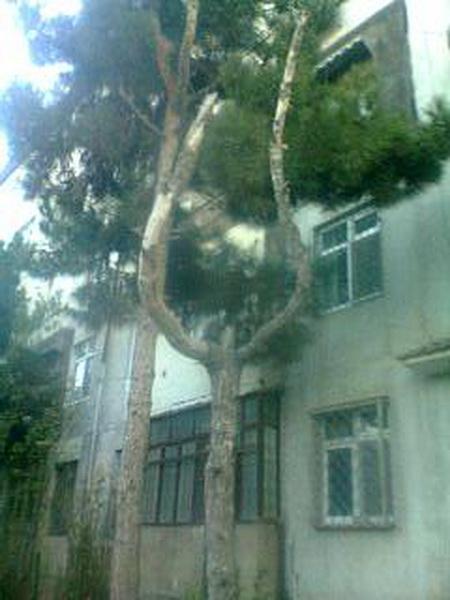 Дерево-рогатка в бакинском дворе - МОБИЛЬНЫЙ РЕПОРТЕР – ФОТО